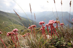 Flowers with mountains in background Summer landscape. Flowers with mountains in background Summer mountain landscape Royalty Free Stock Photos