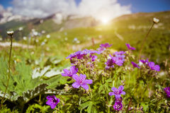Flowers in mountains Stock Photos
