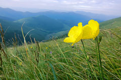 Flowers in mountains Royalty Free Stock Photos