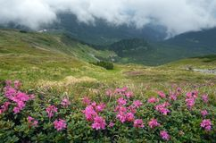 Flowers in the mountains overcast day Royalty Free Stock Image