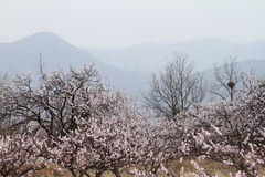 Flowers and mountains. Peach flowers and mountains in china Royalty Free Stock Photos