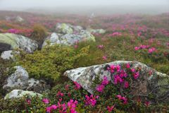 Flowers in the mountains Stock Photography