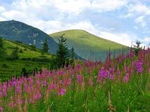 Flowers on mountainside against  mountains and sky background. Royalty Free Stock Images