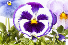 Flowers of multicolor garden pansy on white background, close up. Royalty Free Stock Photos