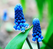 Flowers of muscari Stock Image