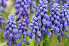 Flowers of Muscari armeniacum Royalty Free Stock Photography
