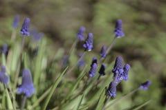 Flowers Muscari armeniacum. Royalty Free Stock Photo