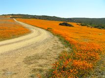 Flowers in the Namaqualand desert in South Africa. Flowering desert: Flowers in the Namaqualand desert in South Africa. The beginning of the flower season varies royalty free stock photos