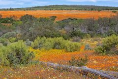 Flowers at the namaqualand national park Royalty Free Stock Images