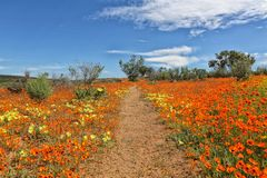 Flowers at the namaqualand national park Royalty Free Stock Photo