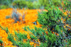Flowers in namaqualand national park Stock Photos