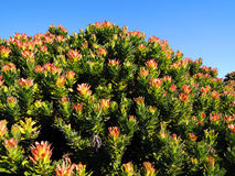 Flowers in namaqualand national park Royalty Free Stock Image