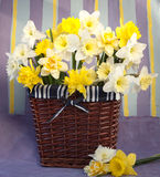 Flowers narcissus Stock Photography