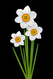 Flowers narcissus illustration Stock Image