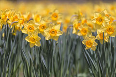 Flowers of Narcissus,in Showa Kinen Park,Tokyo,Japan Stock Images