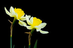 Flowers narcissuses Stock Images
