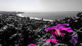 Narrabeen beach. Flowers in the Narrabeen Beach in Sidney, Australia Royalty Free Stock Photo