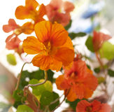 Flowers of nasturtium. On sun light Royalty Free Stock Photos