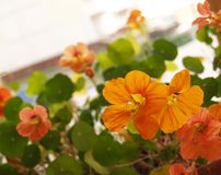 Flowers of nasturtium. Orange petals of nasturtium flower Royalty Free Stock Image