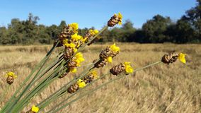 Flowers - naturally occurring yellow flowers. Yellow flowers, natural flowers - naturally occurring golden yellow in the field, beautiful nature Royalty Free Stock Image