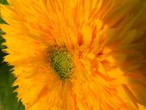 Flowers, nature, garden, field, outdoors,паук ,spider petals, beauty, beautiful, white, yellow Stock Image