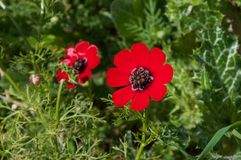 Flowers in nature, red buttercup with sunlight royalty free stock image