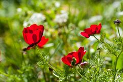 Flowers in nature, Red buttercups royalty free stock photo