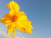Flowers nature. Yellow cosmos space Royalty Free Stock Images