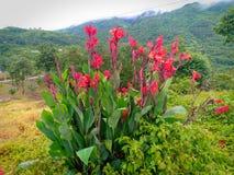 Inspirational Beautiful Natural Canna Flowers... royalty free stock image