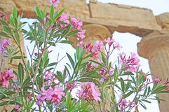 Flowers near the temple of Concordia. Royalty Free Stock Photos