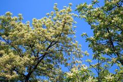 Flowers of neem. royalty free stock images
