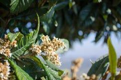 Flowers of nespolo giapponese Eriobotrya japonica Royalty Free Stock Image