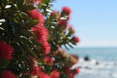 Pohutakawa flowers growing on a West Coast beach. Flowers of New Zealand pohutakawa, Metrosideros excelsa, frame a beach scene on the West Coast, South Island Royalty Free Stock Photography