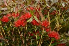 Rata flowers growing at Otira Gorge Royalty Free Stock Photo