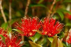 Rata flowers growing at Otira Gorge Stock Images