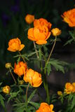 Flowers in night. Bush of beautiful orange colors in darkness of night Stock Photos