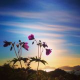 Flowers in Norway. Purple flowers standing on a iceland in Norway royalty free stock photos