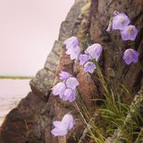 Flowers in Norway. Purple flowers standing on a iceland in Norway stock photo