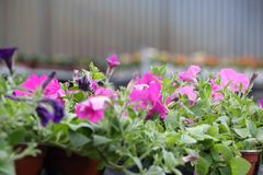 Flowers in a nursery Stock Photography
