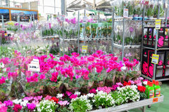 Flowers in the OBI store of Moscow Russia.y. Stock Photography
