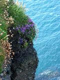 Flowers and the ocean. Flowers on the rock and the ocean in Ireland Stock Images