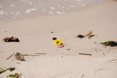Flowers in the ocean. A daisy swept out  while the tide comes in Stock Image