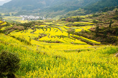Flowers Ocean in wuyuan county, jiangxi province, china Royalty Free Stock Images