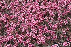 Free Flowers Of A Pink Leptospermum Hybrid Royalty Free Stock Image - 89969096