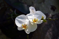 Flowers Of A White Orchid Close-up In A Rainforest Royalty Free Stock Photography