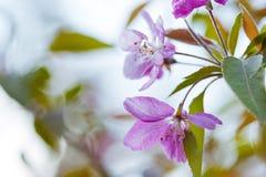 Free Flowers Of Apple Tree Royalty Free Stock Photos - 19597438