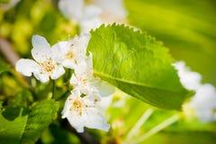 Free Flowers Of Apple Tree Royalty Free Stock Photos - 19756128