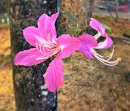 Free Flowers Of Camel S Foot Tree Stock Photography - 76388582