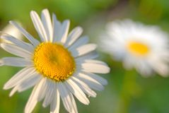 Flowers Of Camomile Stock Photos