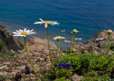 Free Flowers Of Chamomile At Sea 1 Stock Photography - 11237852